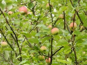 Äpfel auf der Halde Hoheward
